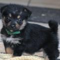 Poopsie – The Terrier